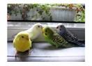 Muhabbet kuşu hakkında bilinmesi gerekenler!