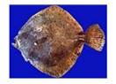 Kalkan Balığı Hakkında Ne Biliyoruz