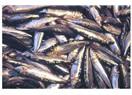 Sardalye  Balığı