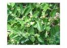 Çok özel bir bitki : Ashwagandha