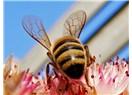 Arılar yok olursa?..