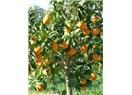 Karşı sokağımızdaki portakal ve mandalina ağaçları