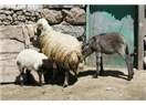 Karaman'ın koyunu...