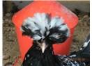 Tavuk deyip geçmemek lâzımmış!