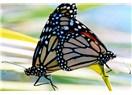 Kelebek Resimleri,Kelebekler hakkında Bilgiler,Kelebek Fotoğrafları,Kelebek Üremeleri.