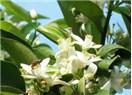 Antalya limon çiçeği kokuyor