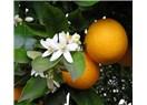 Portakal çiçeklerinin sahiciliği