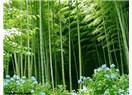 Sabır ve bambu ağacı