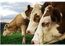Son dakika - 4 adet Holştayn cinsi inek mezbahaya sevkedildi