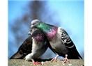 Güvercin Sorunsalı
