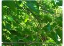 Dut ağacına tırmanmak