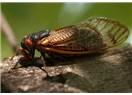 Ağustos böceğinin bacağı en dayanıklı malzeme!