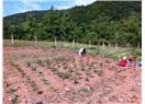 Domates, salatalık, biber ekimi
