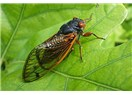 Sayfiyeden Mektuplar - II  Yaz ve Ağustos Böcekleri