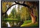 Söğüt ağacı; sevda saklardı dalları