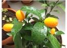 Kumkuat: Altın portakal