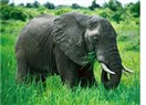 Timur'un fili, Nasrettin Hoca ve bir anı...