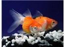 Japon balığı - (Hayatın Gerçekleri)