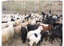 Damızlık koyun ve keçi safkan yetiştiriciliğinde elle aşım dönemi