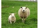 Koyun tarımı, minimum 200 adet koyun ile yapıldığında karlılıktan söz edilebilir