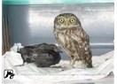 Karga ile Baykuş -Fabl-(Öykünce)
