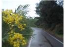 Mimoza