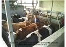 Ankara da bir ilk - Organik çiğ süt üretimi