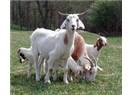 Anne sütüne en yakın; keçi sütü, bu sütün sağlığıöıza katkısı nedir?