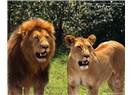 Okavango aslanları Anadolu'da/Ağaç Hareketi orman devrimi