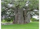 Beni kesme diye ağlayan Çam Ağacı......