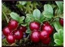 Elajik asit içeren meyve; yaban mersini