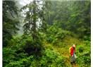 Kel Ormana Şimşir Ağacı