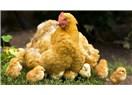 Sizde tavuk kaldı mı ki?