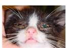 Kedilerin Viral Rhinotracheitisi