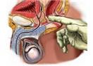 Prostat Büyümesi & Prostat Tedavisi ve Prostata İyi Gelen Bitkiler
