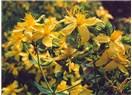 Biyomedikal bitkiler-I, Kantaron (Hypericum perforatum)