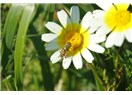 Biyomedikal bitkiler II - Papatya