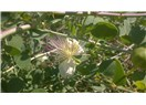 Biyomedikal bitkiler IV - Kapari (Capparis spinosa)