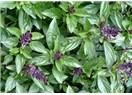 Biyomedikal bitkiler – XII, Reyhan (Ocimum Basilicum)