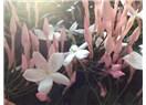 Biyomedikal bitkiler - XIII: Yasemin (Jasminum Grandiflora)