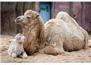 Bakmıyorlar mı ki o deveye, nasıl yaratıldı?