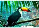 Ormanların derinliklerinde yaşayan rengarenk gagalı Tukan Kuşu, Resimler