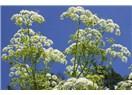Biyomedikal Bitkiler- XVII; Baldıran (Ağu Otu)
