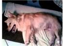 Köpekte Eklampsia (köpeklerde hipokalsemi)