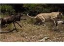 Aslanı yenmek için aslan gibi olmak gerekmez!
