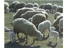Orta Anadolu da hayvancılık kültürü değişti