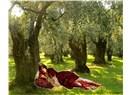 Zeytin ağacı mesnevisi