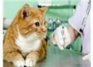 Kedilerde Aşı Takvimi