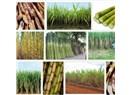Biyomedikal bitkiler XXI; Şeker kamışı (Saccharum officinarum)