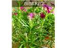 Biberiye Bitkisi- Şifa - Hafıza - Şans